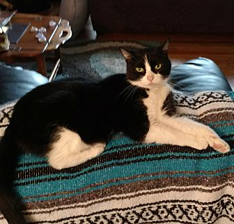 Domestic Shorthair Cat for adoption in Cleveland, Ohio - Misty