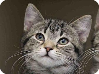 Domestic Mediumhair Kitten for adoption in Pittsburgh, Pennsylvania - CANDY CANE