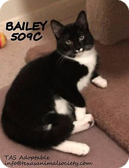 Domestic Shorthair Cat for adoption in Spring, Texas - Bailey