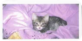 Domestic Shorthair Kitten for adoption in Brea, California - Spiderboy