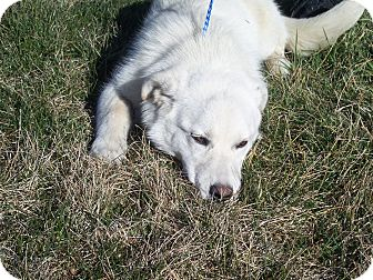 Great Pyrenees/Labrador Retriever Mix Dog for adoption in Germantown, Maryland - Sassy