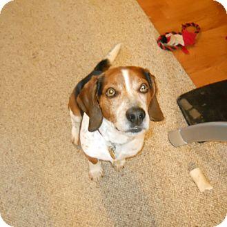 Beagle Dog for adoption in Novi, Michigan - Coby