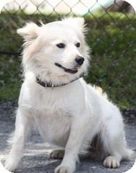 Spaniel (Unknown Type)/Spitz (Unknown Type, Medium) Mix Dog for adoption in Brattleboro, Vermont - Snowflake (Reduced)
