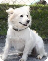Spaniel (Unknown Type)/Spitz (Unknown Type, Medium) Mix Dog for adoption in Brattleboro, Vermont - Snowflake (Reduced)