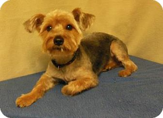 Silky Terrier/Yorkie, Yorkshire Terrier Mix Dog for adoption in Gary, Indiana - Trouble