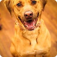 Adopt A Pet :: Star - Lake Odessa, MI