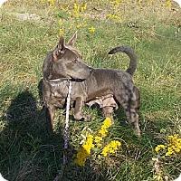 Adopt A Pet :: Gwen - Rome, NY