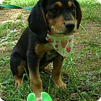 Adopt A Pet :: Beauty (Reduced Adoption Fee) - Brattleboro, VT