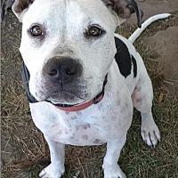 Adopt A Pet :: Callie - Orland, CA