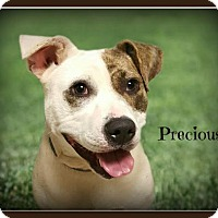 Adopt A Pet :: Precious - Doylestown, PA