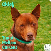 Shepherd (Unknown Type)/Cattle Dog Mix Dog for adoption in Washburn, Missouri - Chief-C