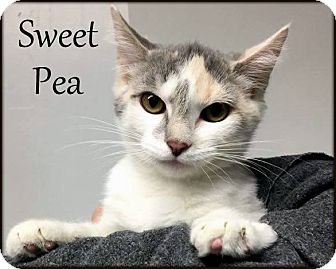 Domestic Shorthair Kitten for adoption in Ottumwa, Iowa - Sweet Pea
