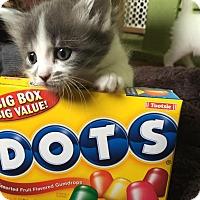 Adopt A Pet :: Dot - Chicago, IL