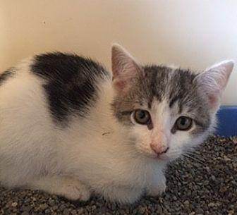 Domestic Shorthair Kitten for adoption in Bronx, New York - Penny