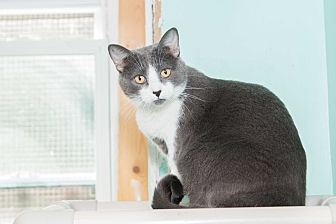 Domestic Shorthair Cat for adoption in Chicago, Illinois - Jackie