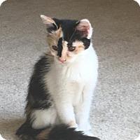 Adopt A Pet :: Sassafrass - Cincinnati, OH