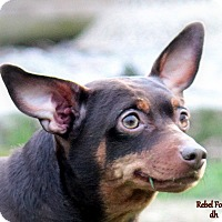 Miniature Pinscher Mix Dog for adoption in Quincy, Indiana - Chew Chew