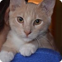 Domestic Shorthair Kitten for adoption in Rochester, Minnesota - Blyton