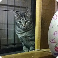 Domestic Shorthair Kitten for adoption in Holland, Michigan - Stout