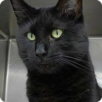 Adopt A Pet :: Clarence-BIG BLACK LAP CAT - Naperville, IL