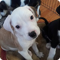 Pit Bull Terrier Mix Puppy for adoption in Hainesville, Illinois - Butternut Squash