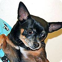 Chihuahua Mix Dog for adoption in Wildomar, California - Shadow