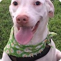 Adopt A Pet :: ANGEL - Fort Pierce, FL