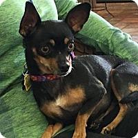 Adopt A Pet :: Nikki - North Richland Hills, TX