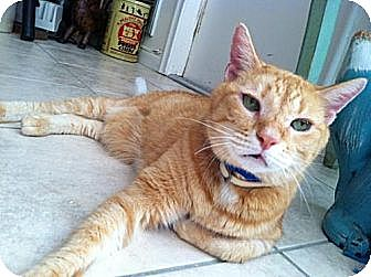 Domestic Shorthair Cat for adoption in Miami, Florida - Romeo