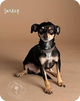 Chihuahua/Terrier (Unknown Type, Small) Mix Dog for adoption in Phoenix, Arizona - Sunday