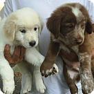 Adopt A Pet :: Lab Puppies - Round 2