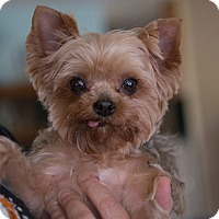 Adopt A Pet :: Tinka - Sacramento, CA