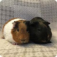 Adopt A Pet :: Azuki & Kuri - Fullerton, CA