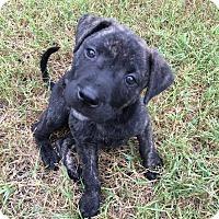 Adopt A Pet :: Apollo in CT - Manchester, CT