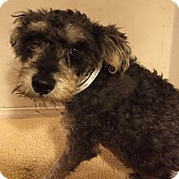 Redondo Beach Ca Schnauzer Miniature Meet Neo A Dog For Adoption