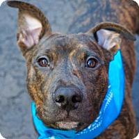 Adopt A Pet :: JUJU - Kimberton, PA