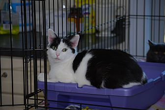 Domestic Shorthair Cat for adoption in Trevose, Pennsylvania - Angie