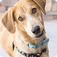 Adopt A Pet :: Buddy - Chandler, AZ