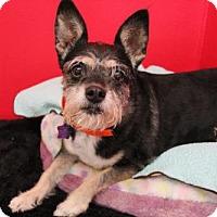 Standard Schnauzer Mix Dog for adoption in Phoenix, Arizona - Gracie