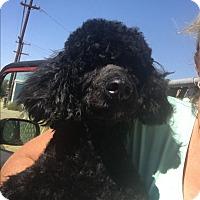Adopt A Pet :: Sal - Thousand Oaks, CA