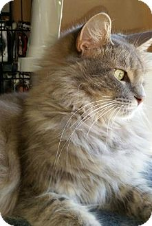 Domestic Longhair Cat for adoption in Gibbstown, New Jersey - Elsa