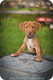 Border Collie/Boxer Mix Puppy for adoption in Lake Jackson, Texas - Cody