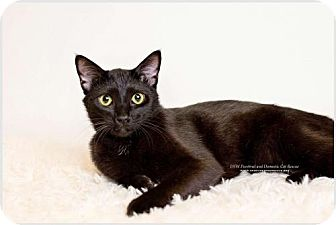 Domestic Shorthair Cat for adoption in DFW Metroplex, Texas - Harry