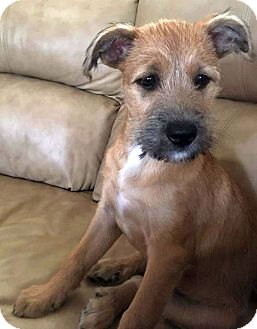 Terrier (Unknown Type, Small)/Dachshund Mix Puppy for adoption in Columbus, Ohio - Lady Gaga