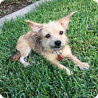 Yorkie, Yorkshire Terrier Mix Puppy for adoption in Fort Atkinson, Wisconsin - Kirah