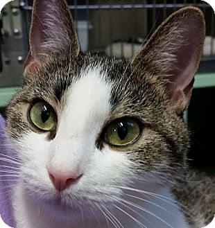 Domestic Shorthair Cat for adoption in Princeton, Massachusetts - Piper