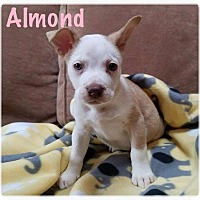 Adopt A Pet :: Almond - Hainesville, IL