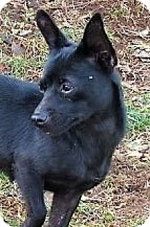 Pomeranian/Chihuahua Mix Dog for adoption in Germantown, Maryland - Suzie
