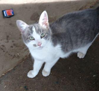 Domestic Shorthair Cat for adoption in Quail Valley, California - John