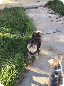 Yorkie, Yorkshire Terrier/Maltese Mix Dog for adoption in Vacaville, California - Percy